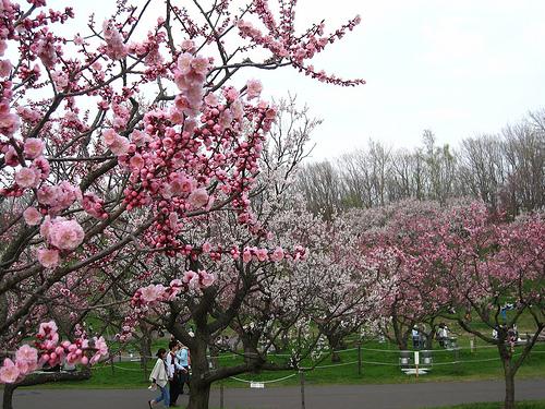 平岡公園の梅