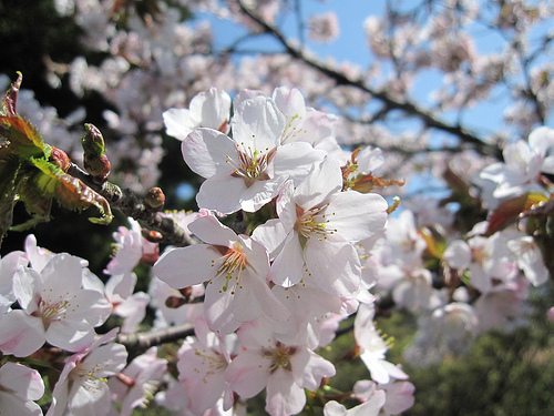 恵庭開拓記念公園の桜